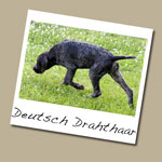 Deutsch Drahthaar Dog Breed